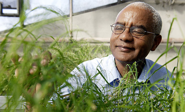 Zerihun Tadele examines a new tef line in a greenhouse in Bern