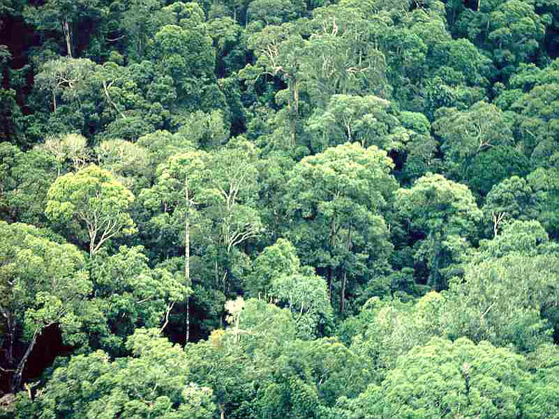 rain forest in Danum MY